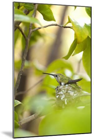 Hummingbird-Karyn Millet-Mounted Photographic Print