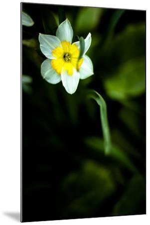 Daffodil II-Beth Wold-Mounted Photographic Print
