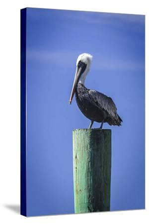 Mr. Pelican III-Alan Hausenflock-Stretched Canvas Print