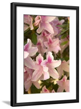 Pink Rhody II-Karyn Millet-Framed Photographic Print