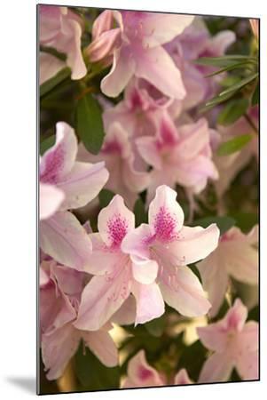 Pink Rhody II-Karyn Millet-Mounted Photographic Print