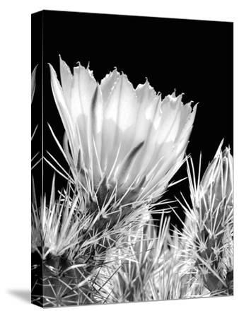Armed and Beautiful BW-Douglas Taylor-Stretched Canvas Print