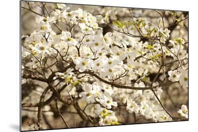 Cherry Blossoms III-Karyn Millet-Mounted Photographic Print