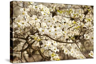 Cherry Blossoms III-Karyn Millet-Stretched Canvas Print