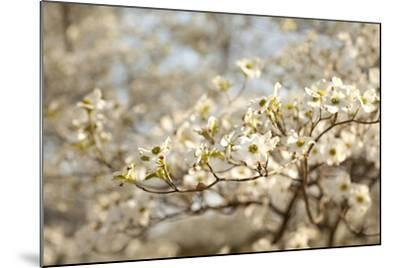 Cherry Blossoms II-Karyn Millet-Mounted Photographic Print