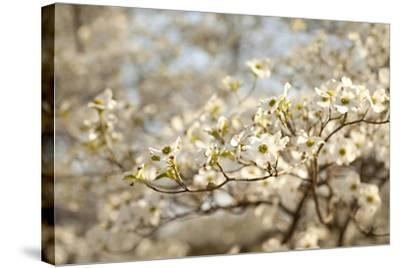 Cherry Blossoms II-Karyn Millet-Stretched Canvas Print