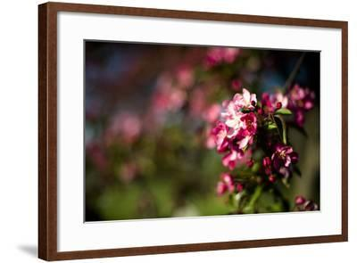 Crabapple Blooms-Beth Wold-Framed Photographic Print