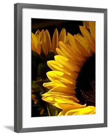 Sunlit Sunflowers I-Monika Burkhart-Framed Photographic Print