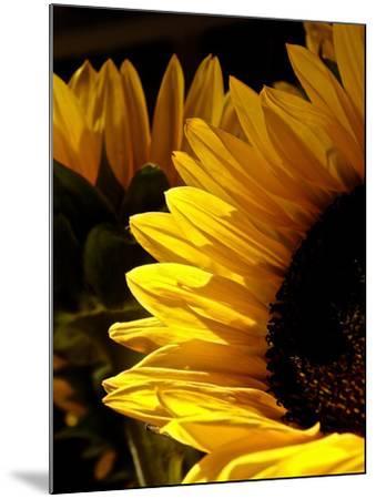 Sunlit Sunflowers I-Monika Burkhart-Mounted Photographic Print