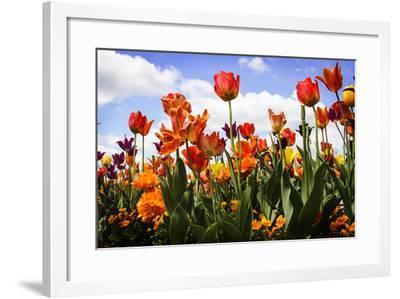 Tulip Parade I-Alan Hausenflock-Framed Photographic Print
