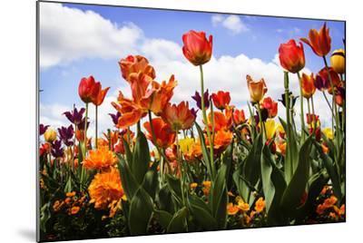 Tulip Parade I-Alan Hausenflock-Mounted Photographic Print