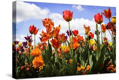 Tulip Parade I-Alan Hausenflock-Stretched Canvas Print