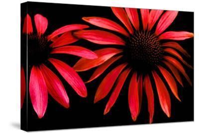 Red Echinacea-Ike Leahy-Stretched Canvas Print