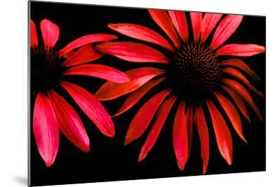 Red Echinacea-Ike Leahy-Mounted Photographic Print