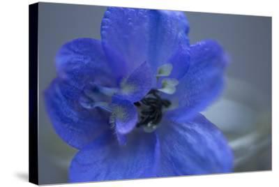 Delphinium Flower I-Rita Crane-Stretched Canvas Print
