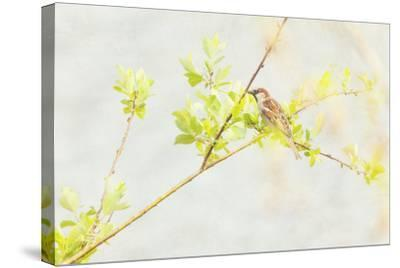 P Dometicus-Roberta Murray-Stretched Canvas Print