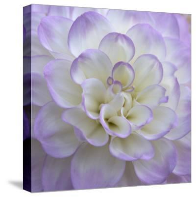 Lavender Dahlia VI-Rita Crane-Stretched Canvas Print