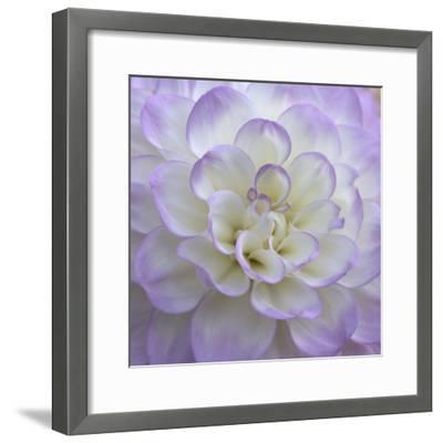 Lavender Dahlia VI-Rita Crane-Framed Photographic Print