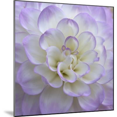Lavender Dahlia VI-Rita Crane-Mounted Photographic Print