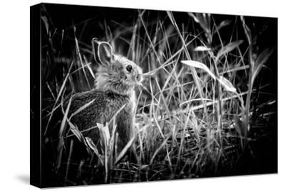 Baby Bunny II-Beth Wold-Stretched Canvas Print