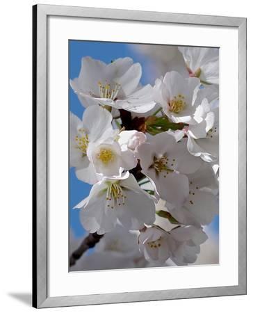 Apple Blossoms IV-Monika Burkhart-Framed Photographic Print