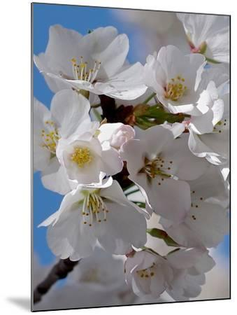 Apple Blossoms IV-Monika Burkhart-Mounted Photographic Print