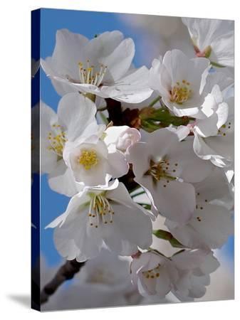Apple Blossoms IV-Monika Burkhart-Stretched Canvas Print