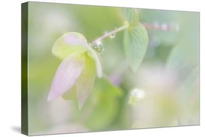 Dew Covered Oregano III-Kathy Mahan-Stretched Canvas Print