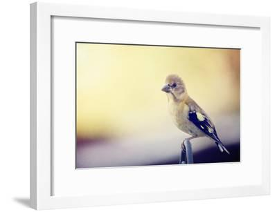 Young Grosbeak-Roberta Murray-Framed Photographic Print