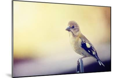 Young Grosbeak-Roberta Murray-Mounted Photographic Print