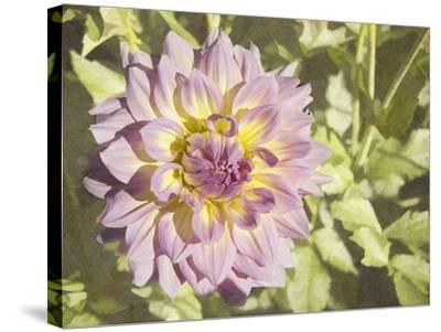 Garden Dahlias II-George Johnson-Stretched Canvas Print