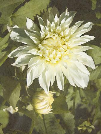 Garden Dahlias VII-George Johnson-Framed Photographic Print
