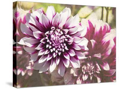 Garden Dahlias III-George Johnson-Stretched Canvas Print