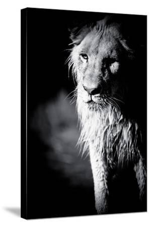 Lioness in Water II-Beth Wold-Stretched Canvas Print
