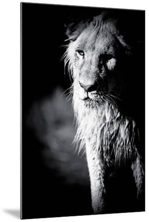 Lioness in Water II-Beth Wold-Mounted Photographic Print