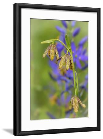 Chocolate Lily I-Kathy Mahan-Framed Photographic Print