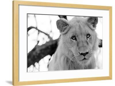 Male Lion-Beth Wold-Framed Photographic Print