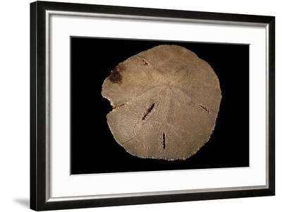 A Keyhole Sand Dollar, Mellita Quinquiesperforata.-Joel Sartore-Framed Photographic Print