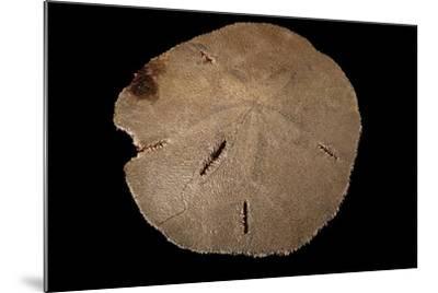 A Keyhole Sand Dollar, Mellita Quinquiesperforata.-Joel Sartore-Mounted Photographic Print
