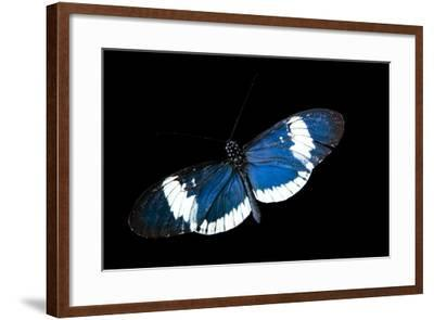 A Cydno Longwing Butterfly, Heliconius Cydno, at the Saint Louis Zoo.-Joel Sartore-Framed Photographic Print