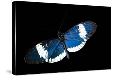 A Cydno Longwing Butterfly, Heliconius Cydno, at the Saint Louis Zoo.-Joel Sartore-Stretched Canvas Print