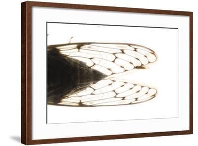 Studio Portrait of a Cicada, Tibicen Canicularis.-Joel Sartore-Framed Photographic Print