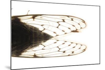 Studio Portrait of a Cicada, Tibicen Canicularis.-Joel Sartore-Mounted Photographic Print