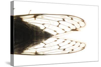 Studio Portrait of a Cicada, Tibicen Canicularis.-Joel Sartore-Stretched Canvas Print