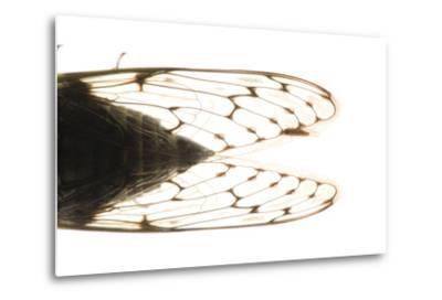 Studio Portrait of a Cicada, Tibicen Canicularis.-Joel Sartore-Metal Print