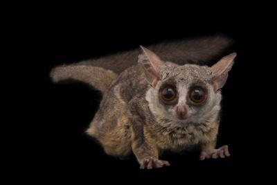 A Mohol Bushbaby, Galago Moholi, at the Cleveland Metroparks Zoo.-Joel Sartore-Framed Photographic Print