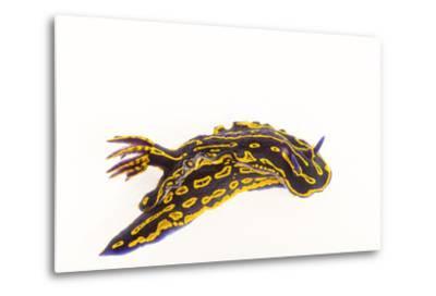 A Regal Goddess Nudibranch, Felimare Picta.-Joel Sartore-Metal Print