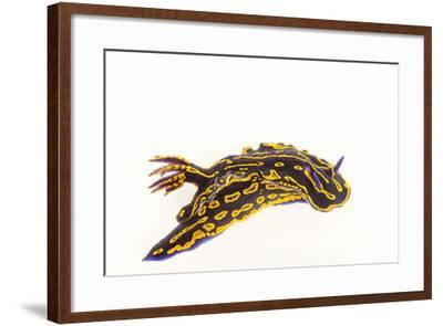 A Regal Goddess Nudibranch, Felimare Picta.-Joel Sartore-Framed Photographic Print