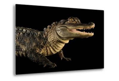 An American Alligator, Alligator Mississippiensis, at the Lincoln Children's Zoo.-Joel Sartore-Metal Print