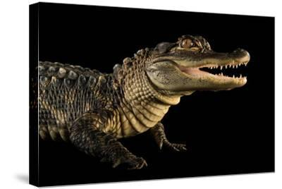 An American Alligator, Alligator Mississippiensis, at the Lincoln Children's Zoo.-Joel Sartore-Stretched Canvas Print